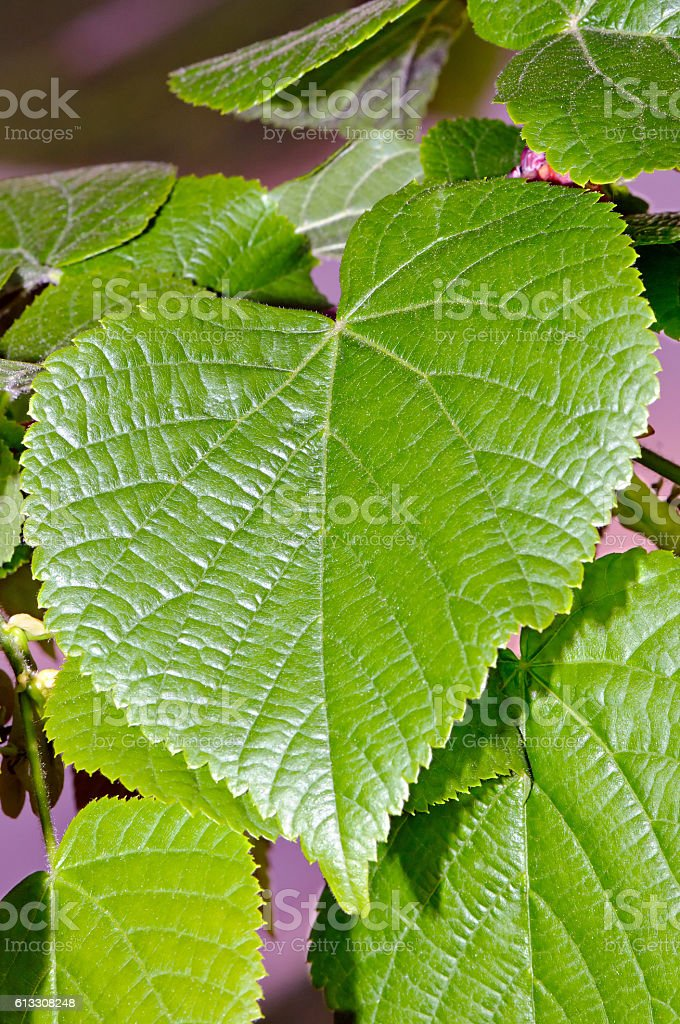 Foliage of large-leaf linder stock photo
