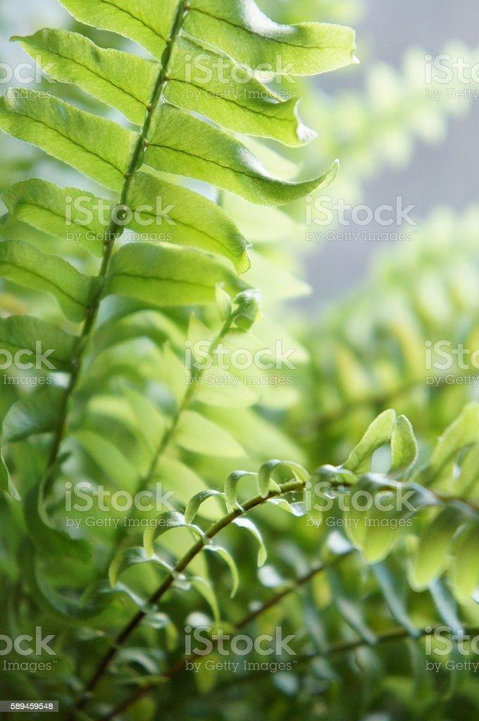 Foliage of nephrolepis stock photo