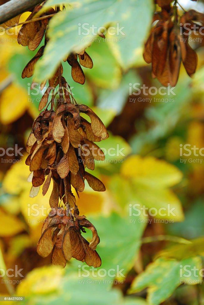 Foliage of samara Fruit from the Sycamore Tree . stock photo
