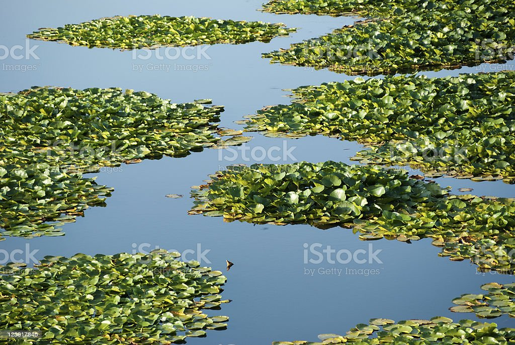 foliage of water plants stock photo
