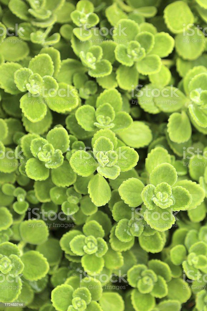 Foliage Plant royalty-free stock photo