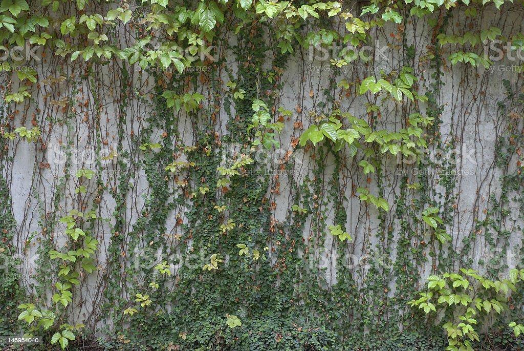 Foliage Wall royalty-free stock photo