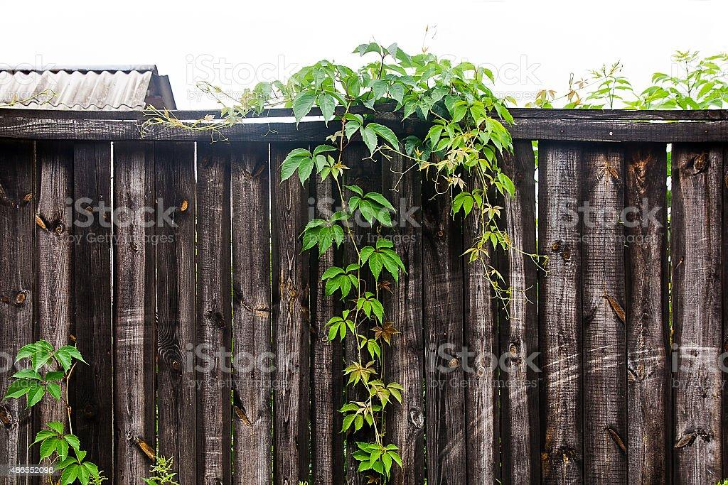 Follaje wild uvas sobre fondo de madera vintage con espacio de copia foto de stock libre de derechos
