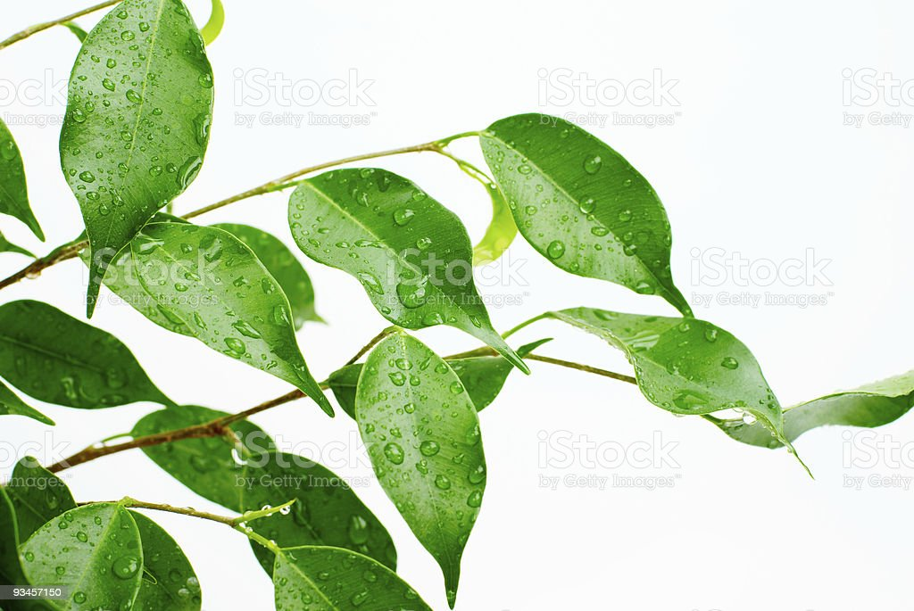 foliage with drops royalty-free stock photo