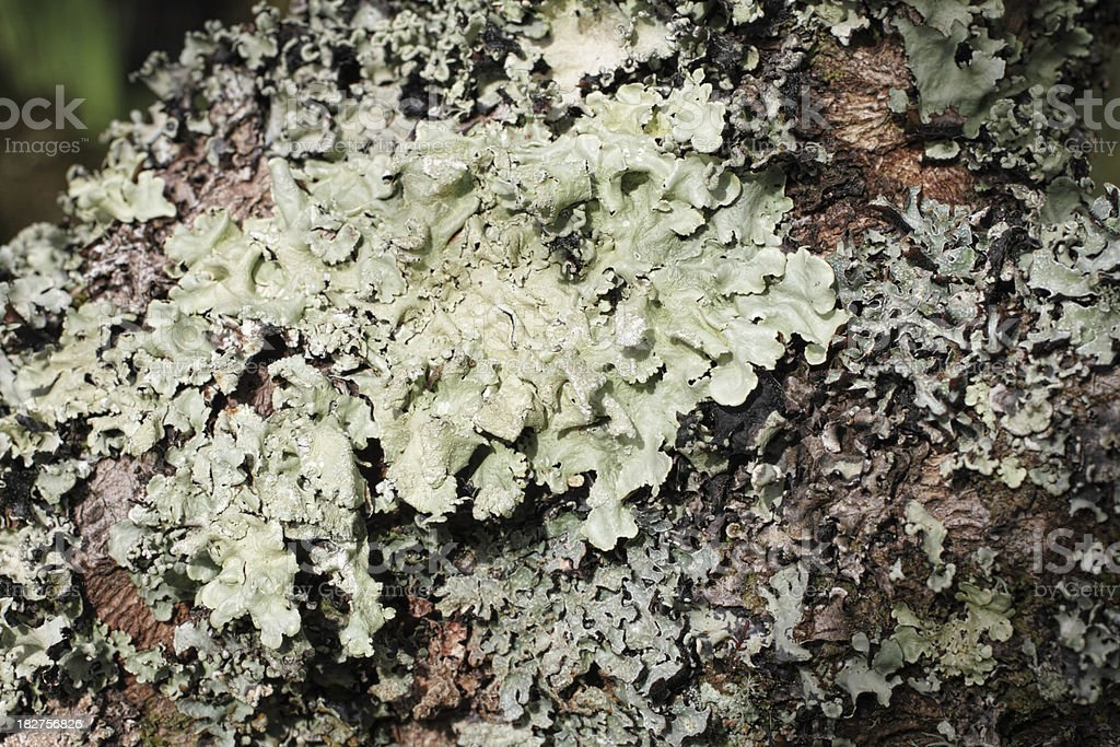 Foliose grey-green lichen on goat willow tree Salix caprea stock photo