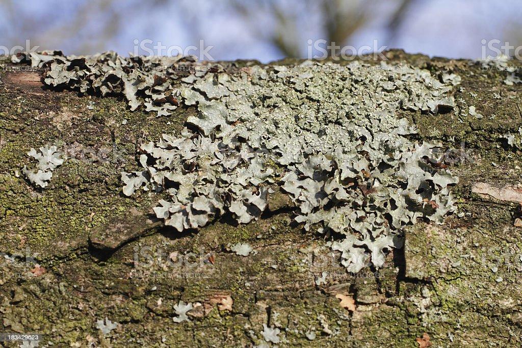 Foliose grey-green lichen on horizontal branch stock photo