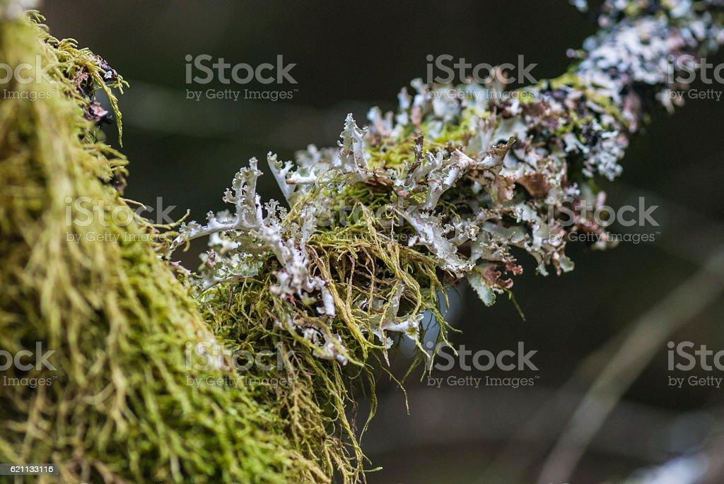 Foliose Lichen stock photo