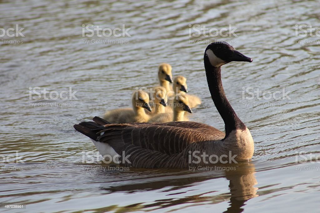 Follow The Leader. stock photo