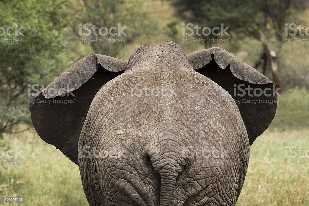 Following the Elephant royalty-free stock photo