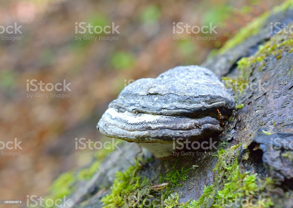 Fomes fomentarius mushrooms stock photo