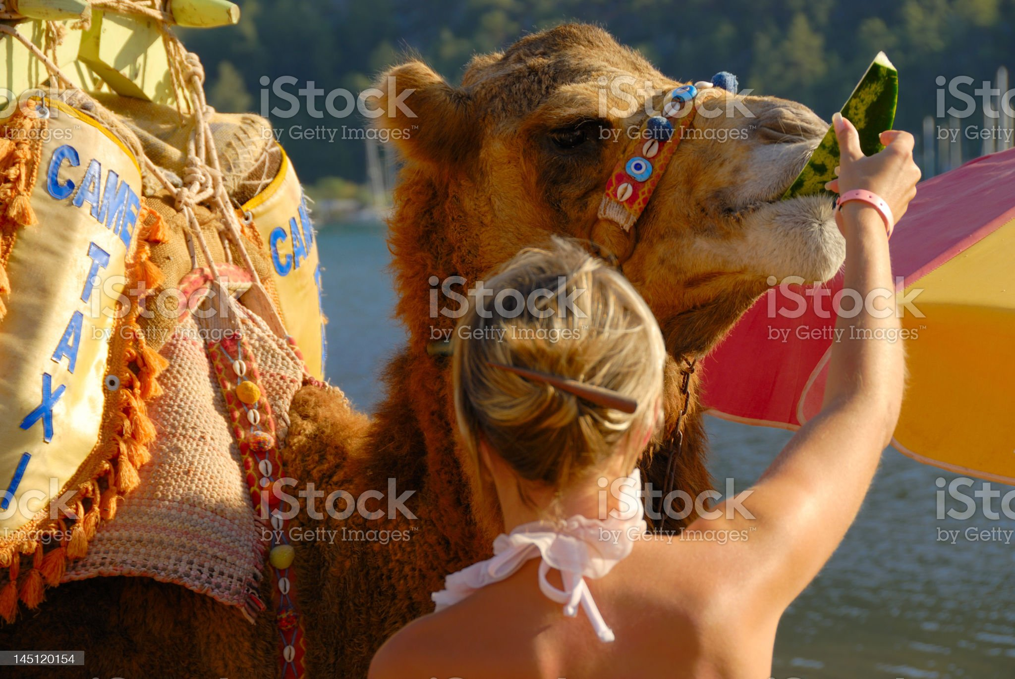 Food for a camel royalty-free stock photo