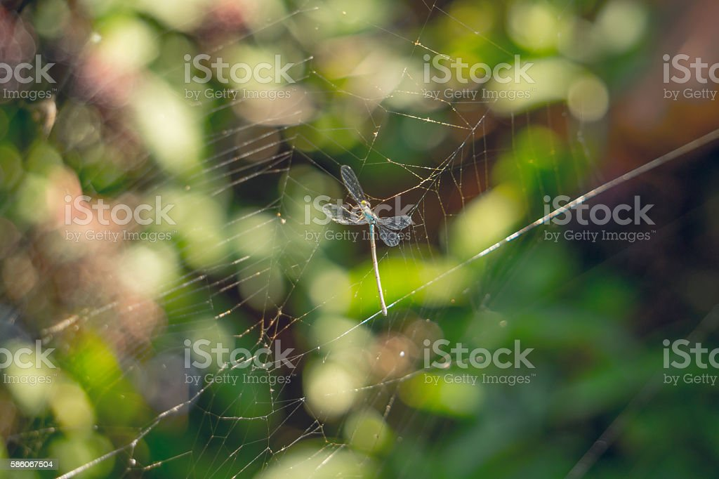 Food for the spider. Graceful dragonfly in the web stock photo