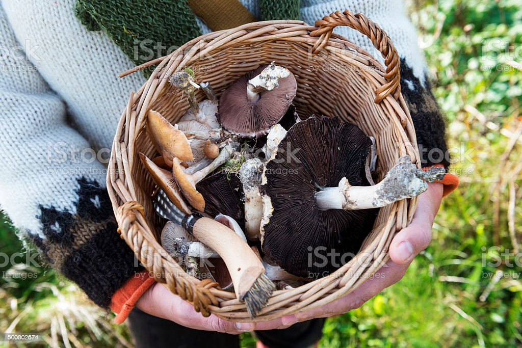 Food Forager and Her Haul of Mushrooms stock photo