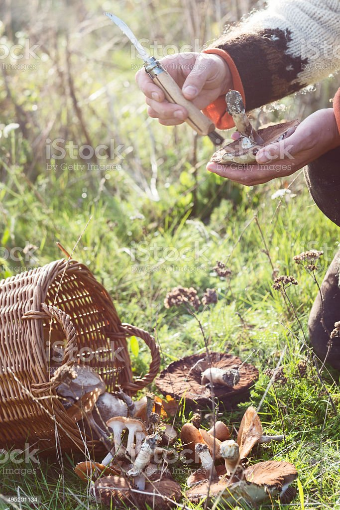 Food Forager Cleaning Her Foraged Wild Mushrooms. stock photo