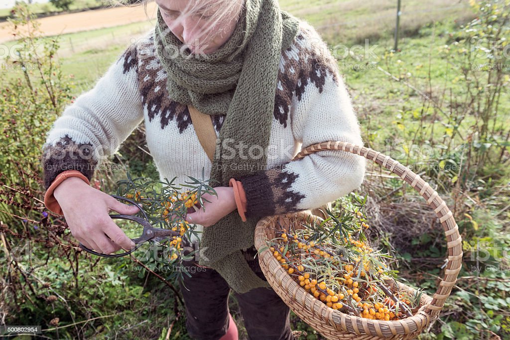 Food Forager Collecting Berries in the Field stock photo