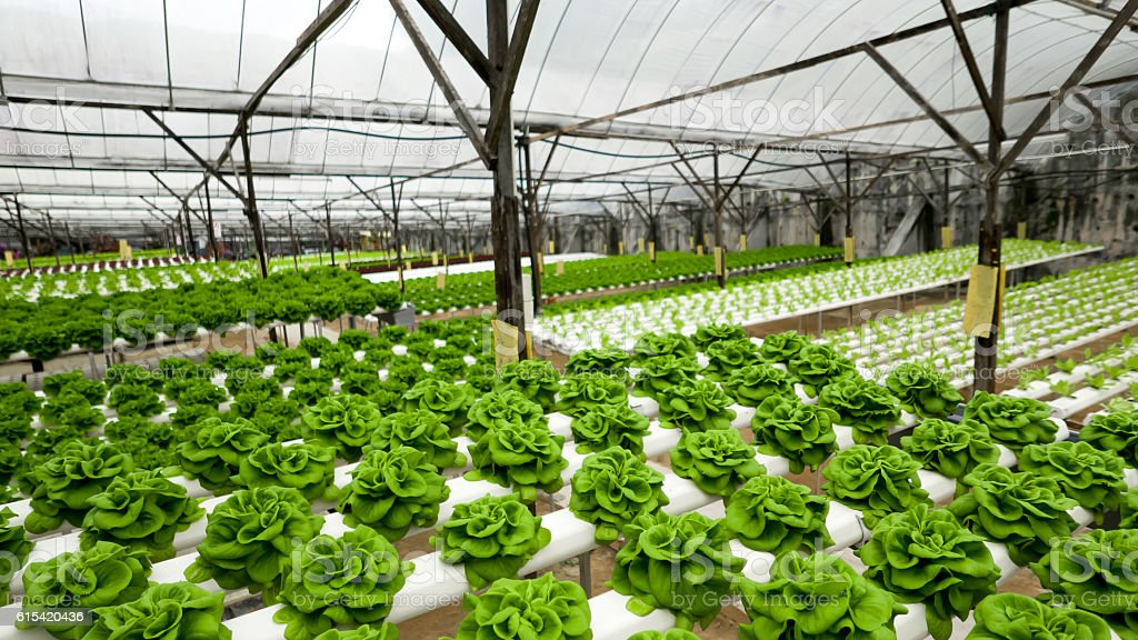 Food production in hydroponic plant, lettuce stock photo