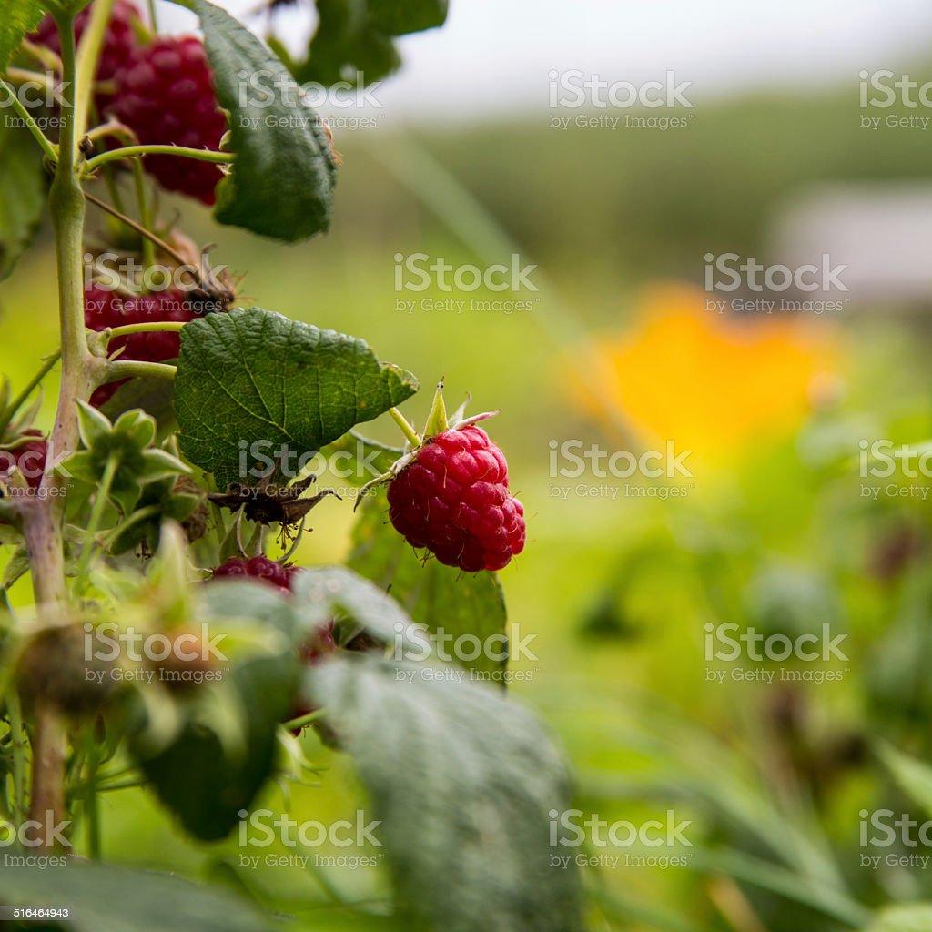 Food_Raspberry stock photo