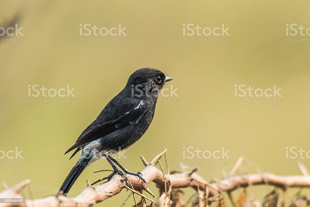 Pied Bush Chat stock photo