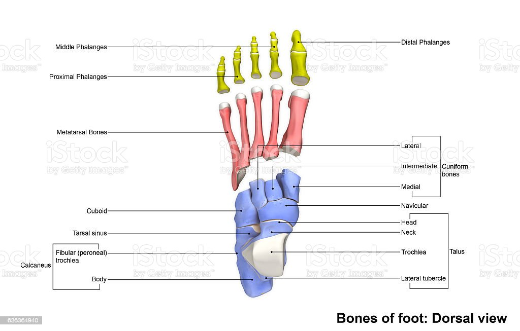 Foot Dorsal view stock photo