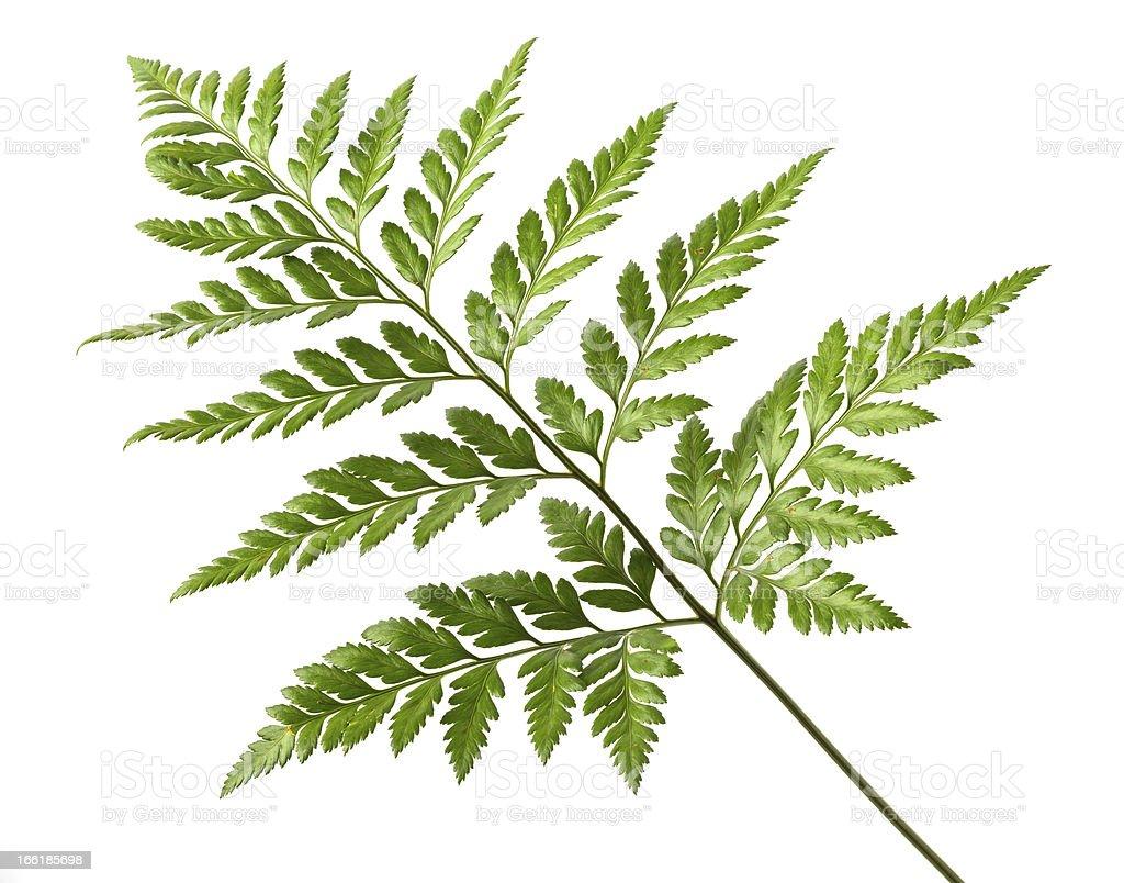 Foot fern royalty-free stock photo