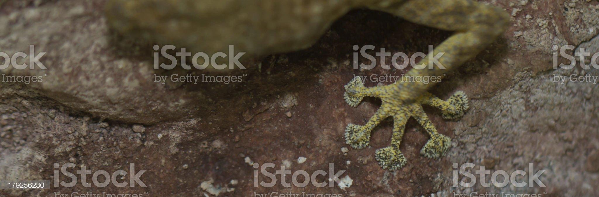 foot of fan toed gecko royalty-free stock photo