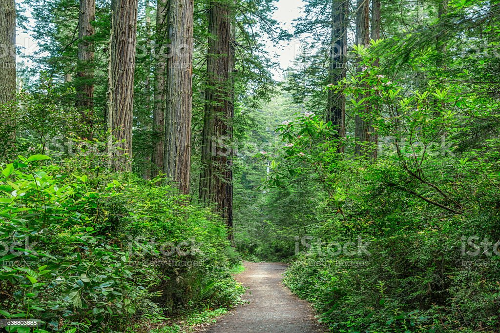 Foot path thru Redwood National Park stock photo