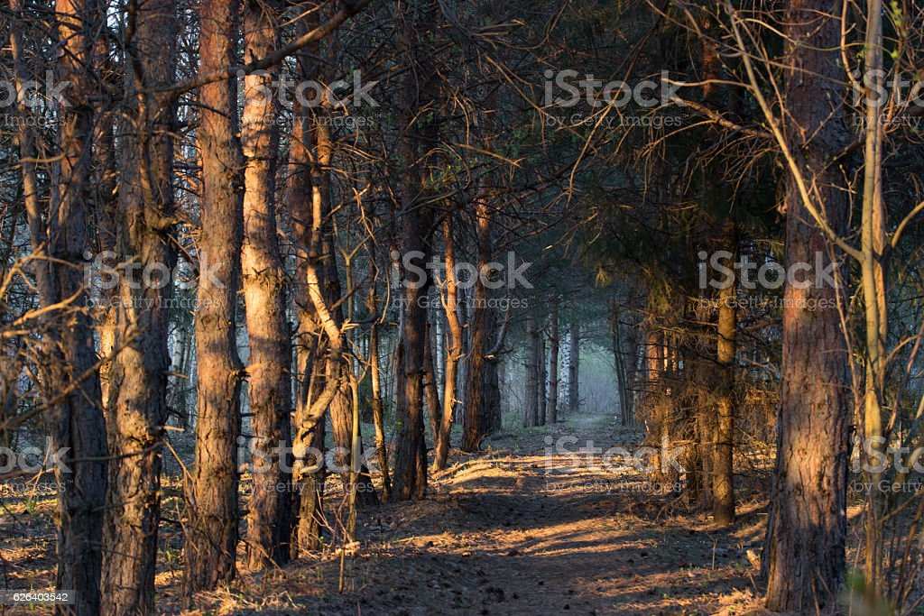 footpath in a mistic forest stock photo