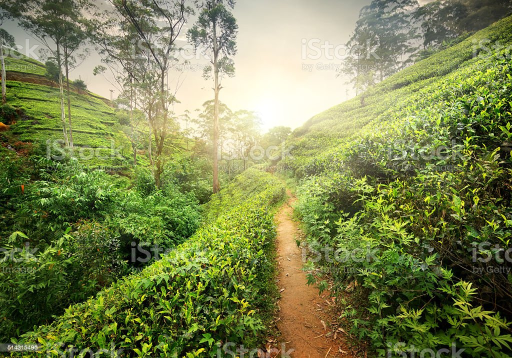 Footpath in tea plantation stock photo
