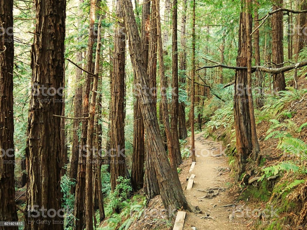 Footpath through a redwood forest in California stock photo