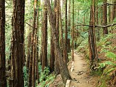 Footpath through a redwood forest in California