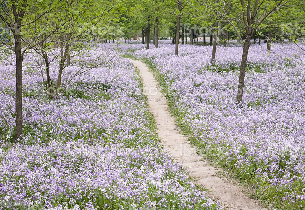 footpath through flower field royalty-free stock photo