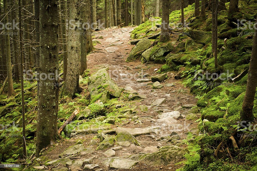 Foot-path through pine forest royalty-free stock photo