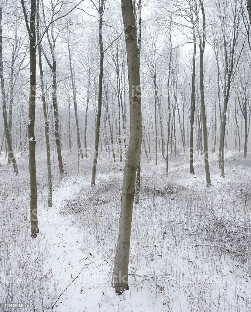 Footpath through Winter Forest of Bare Beech Trees in Snow stock photo