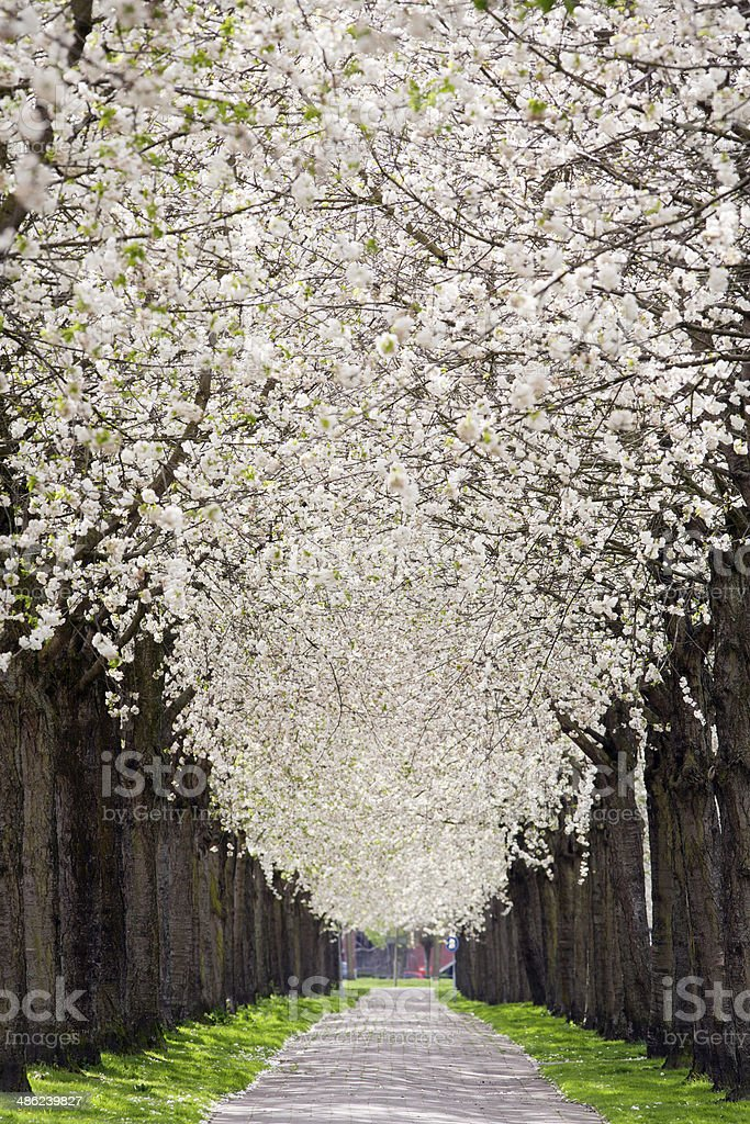 Footpath under Blossom stock photo