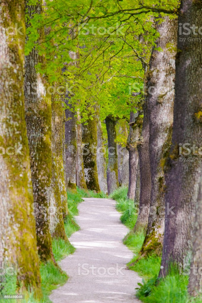footpath with big old oak trees stock photo