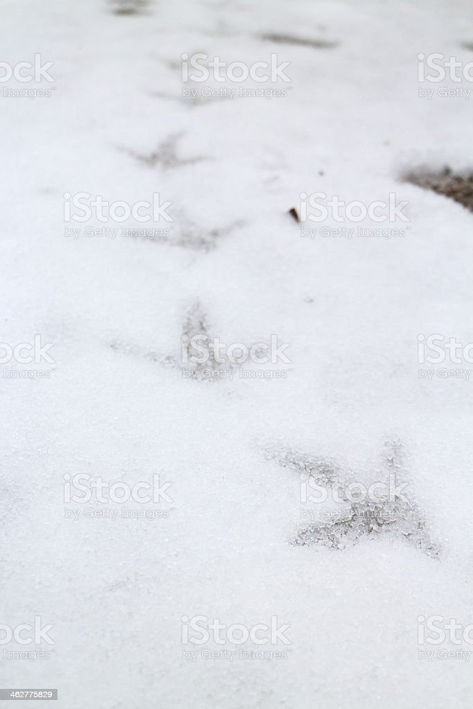 footprint of capercaillie grouse in snow stock photo