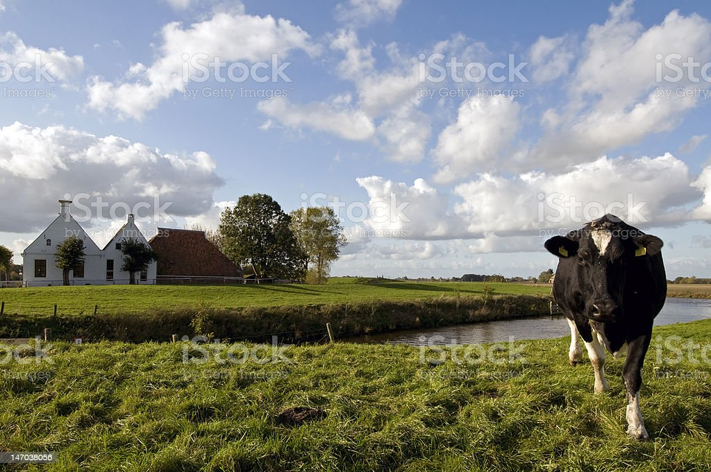 for cow and country side stock photo