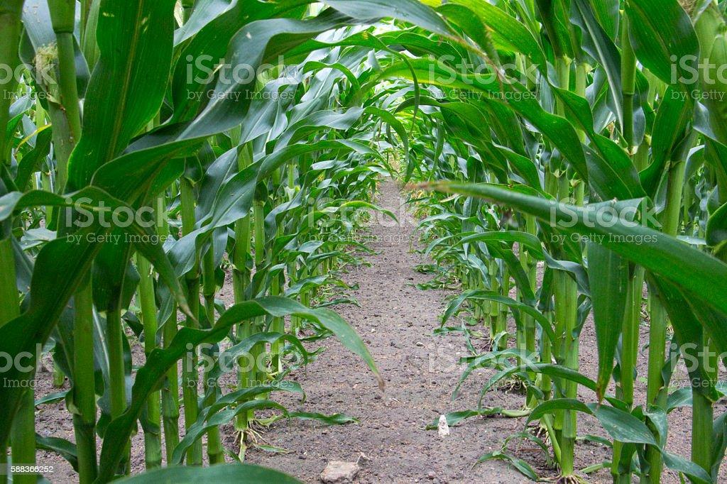 Forage Maize stock photo