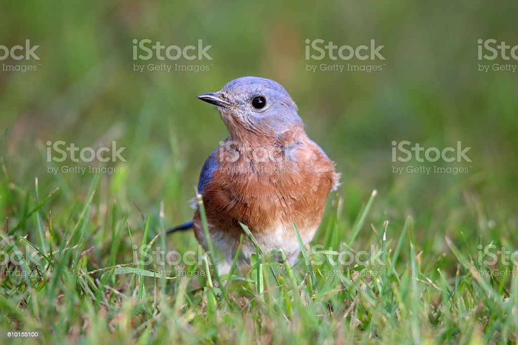 Foraging Bluebird stock photo