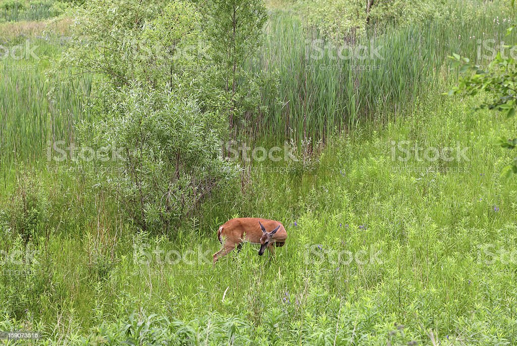 Foraging Deer in Toronto stock photo