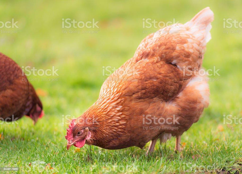 Foraging free-range hen stock photo