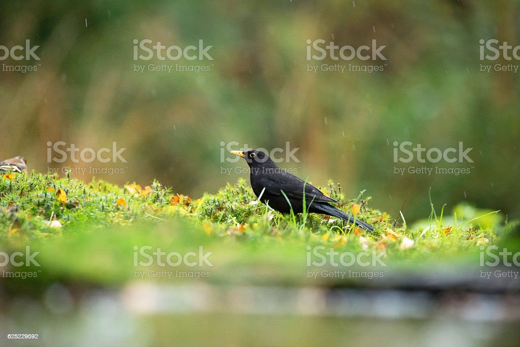 Foraging male common blackbird on forest ground in the rain. stock photo