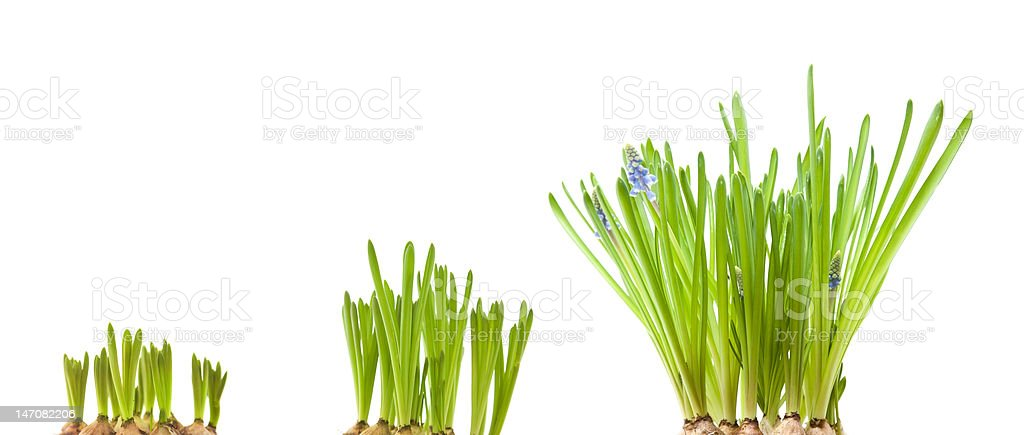 forced muscari bulbs isolated on white stock photo