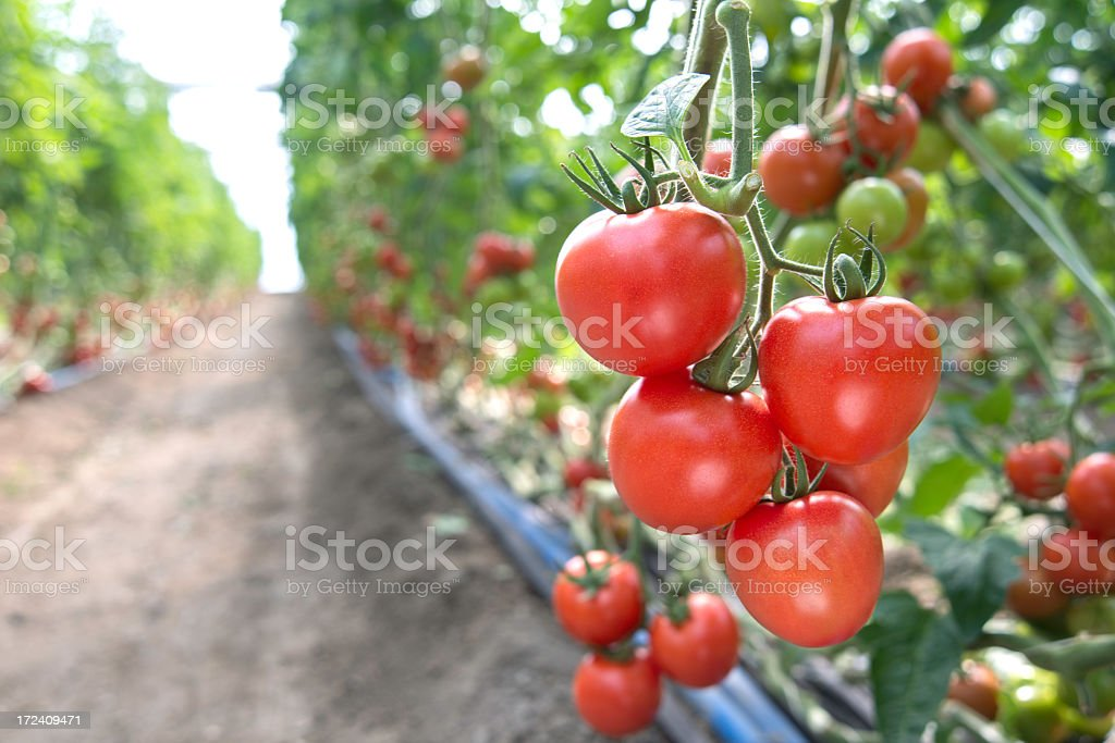 Foreground image of ripe, red tomatoes stock photo