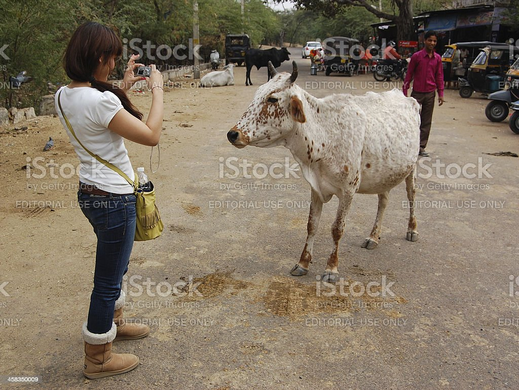 Foreign tourist taking photo of a holy cow in India royalty-free stock photo