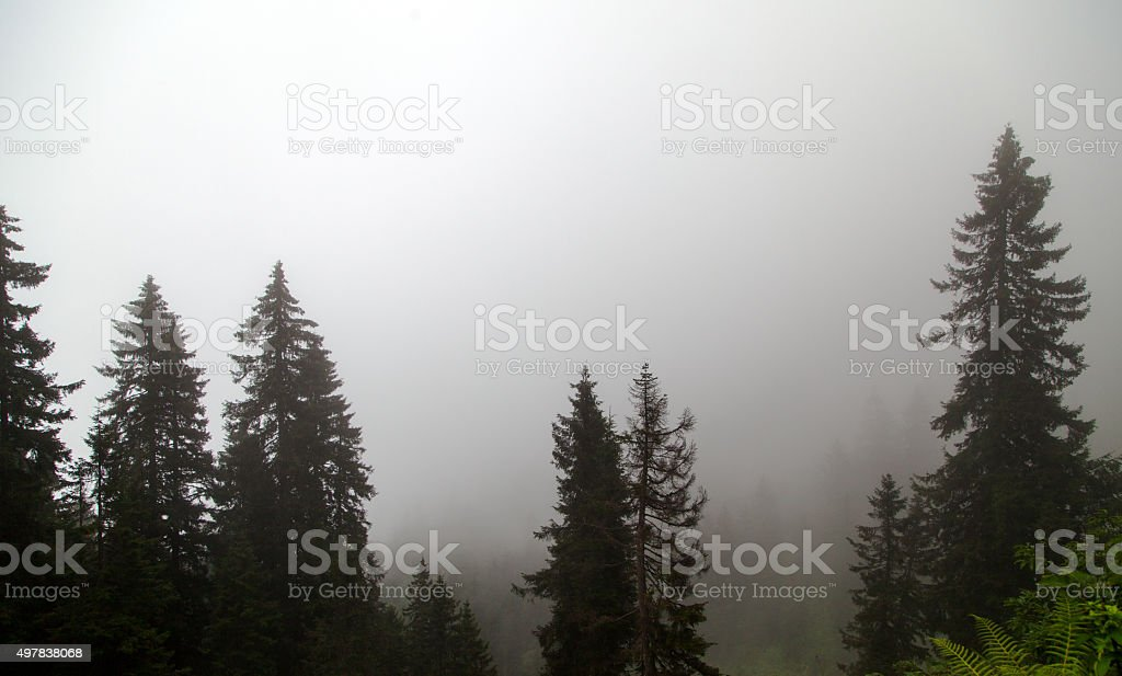 Forest and Fog stock photo