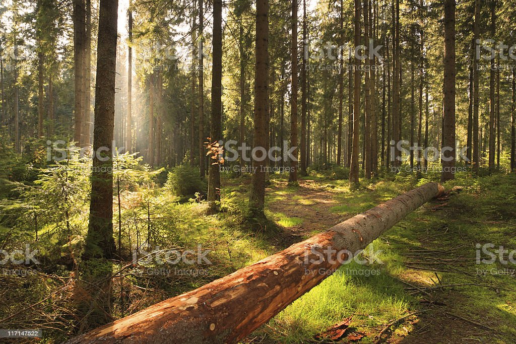 Forest and sun rays - HDR image stock photo