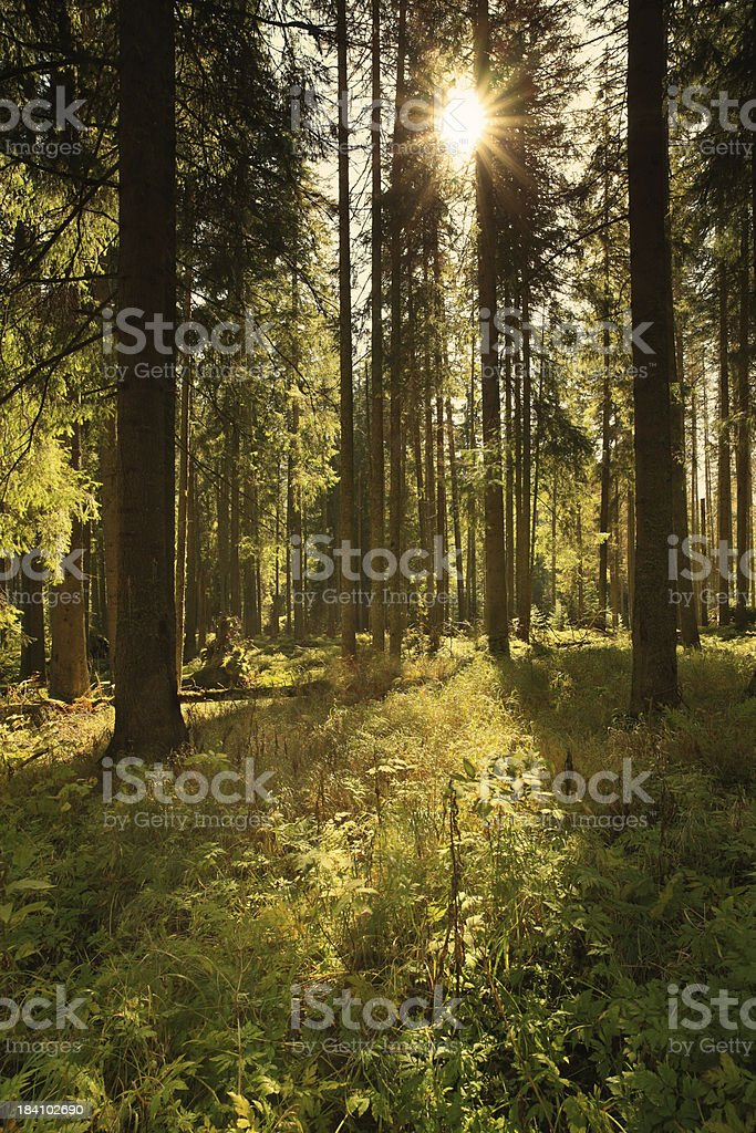 Forest and sun rays - HDR image royalty-free stock photo