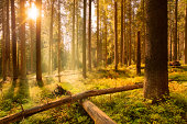 Forest and sun rays - HDR image