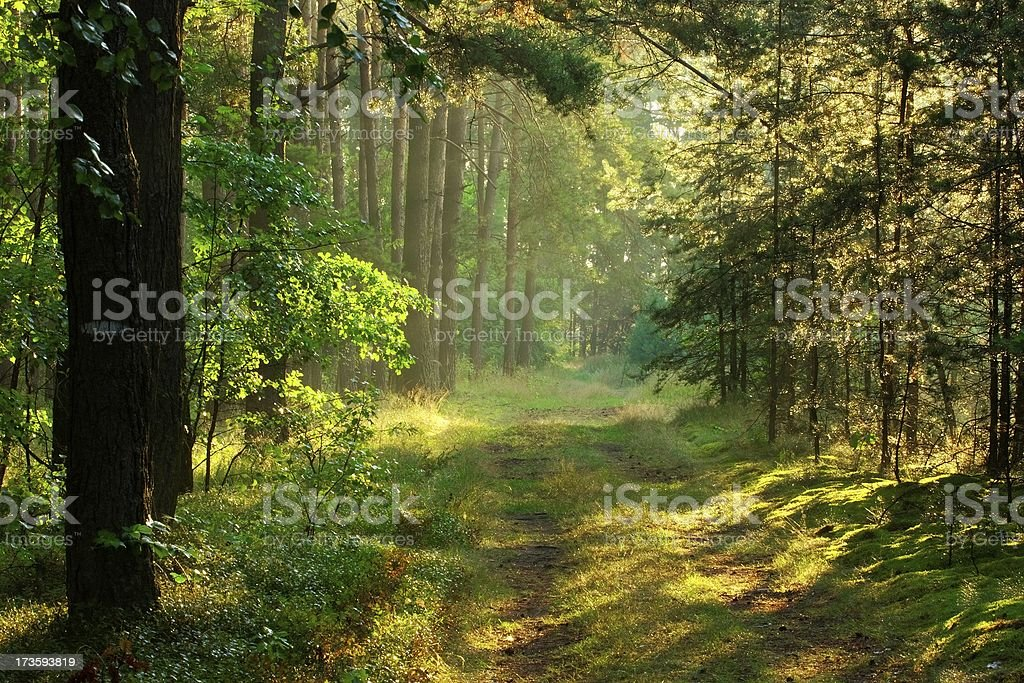Forest and sun rays royalty-free stock photo